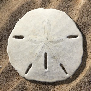 sand-dollar-mike-mcglothlen